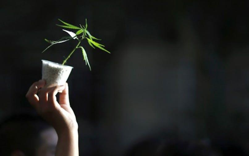Sept idées reçues sur le cannabis