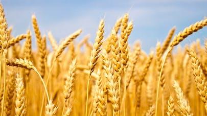 Notre alimentation contient-elle des OGM?