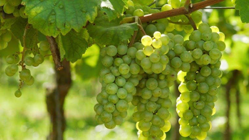 Détox: choisissez votre cure de raisin