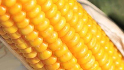 OGM: réactions controversées à l'étude choc du Pr Séralini
