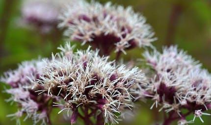 Valériane: comment bien l'utiliser en phytothérapie