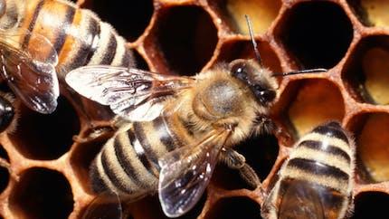 Les abeilles sont bien victimes de certains pesticides