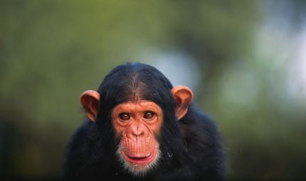 Etats-Unis: la recherche médicale n'utilisera plus les chimpanzés
