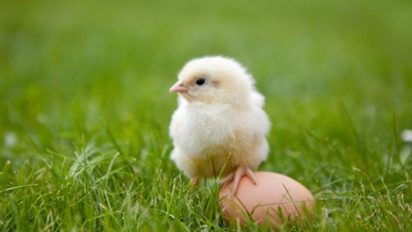 Les œufs Monoprix ne viendront plus de poules élevées en batterie