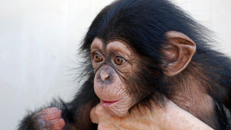 Nos bébés, pas plus intelligents que des singes?