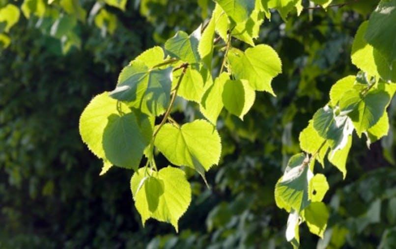 Gemmothérapie: les bourgeons qui soignent
