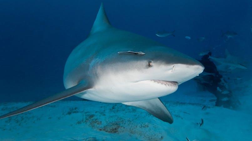 Requins: une combinaison pour s'en protéger?