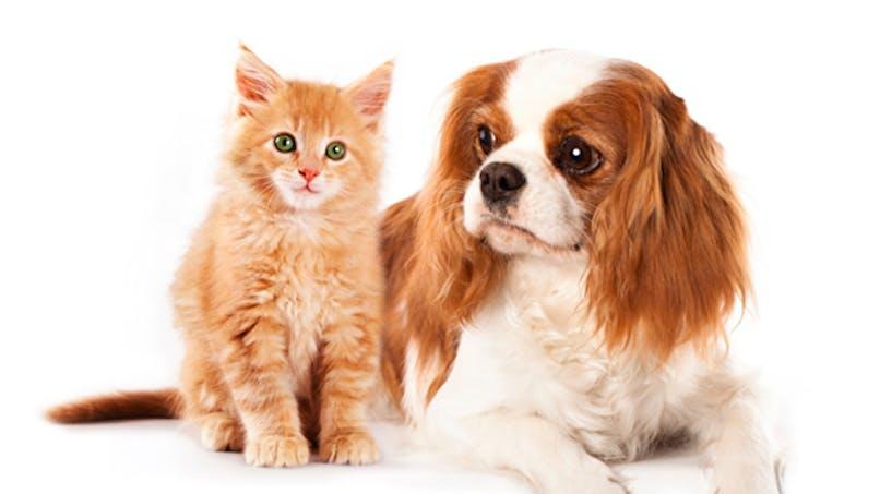 Bientôt un traitement contre l'allergie aux chats et aux chiens?