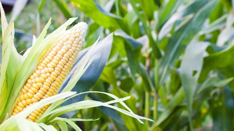 OGM: Monsanto autorisé à reprendre la culture du maïs en France