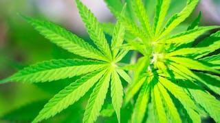L'Académie de médecine très réservée sur le cannabis thérapeutique