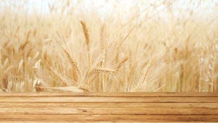 Contre le côlon irritable: préférez le kamut au blé