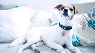 Stérilisation ou contraception pour ma chienne?