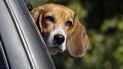 Mon chien, l'été, en voiture!