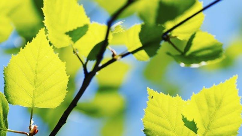 Allergie: alerte au cyprès et au bouleau