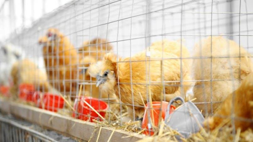 Alerte à la grippe aviaire au Japon