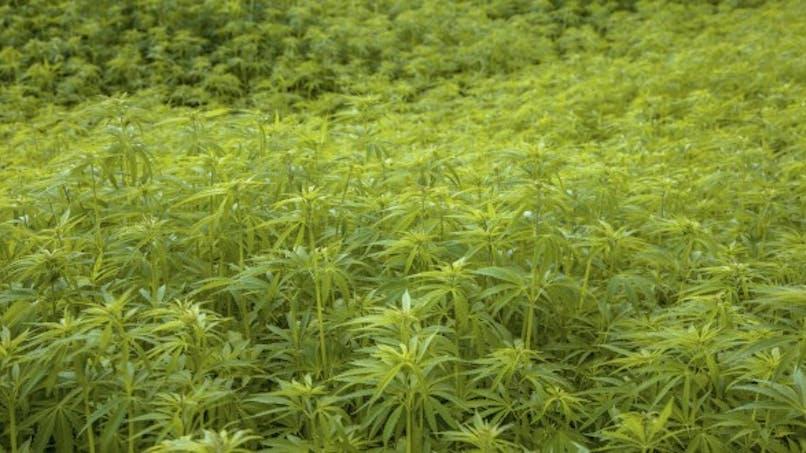Le cannabis n'est pas bon pour le cœur