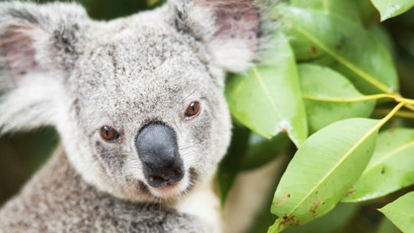 Guérir du sida grâce au koala?