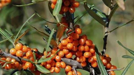 L'argousier, la plante qui aide à lutter contre la fatigue