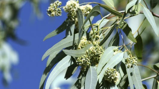 L'eucalyptus, pour lutter contre le rhume, la bronchite, la grippe…