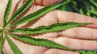Cannabis: pourquoi il faut se méfier de la skunk