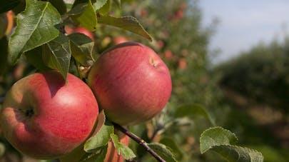 Pour Greenpeace, les pommes sont empoisonnées par des pesticides