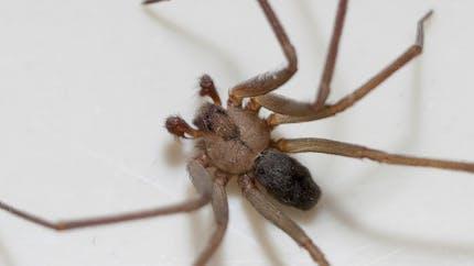 Araignée: gare à la morsure de la recluse brune!