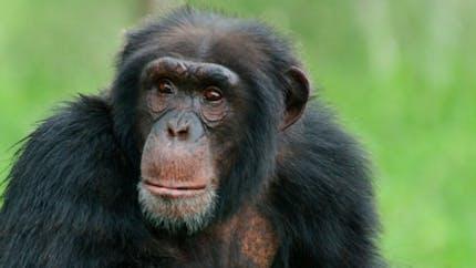 Les Etats-Unis arrêtent les recherches biomédicales sur les chimpanzés