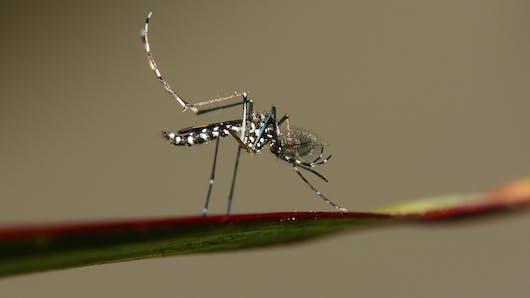 Chikungunya et dengue: le moustique tigre continue sa progression dans l'Hexagone