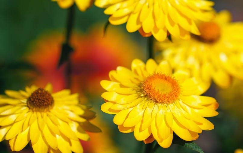 L'hélichryse, son huile essentielle soulage les bleus et les bosses