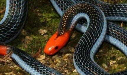 Du venin de serpent corail bleu en guise de nouvel antidouleur?