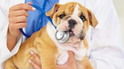 Comprendre les groupes sanguins des chiens