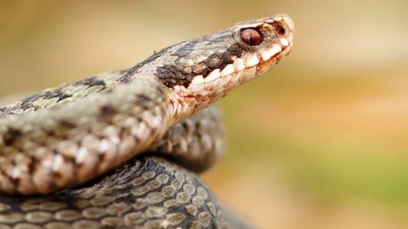 Morsure de serpent: les bons réflexes à connaître
