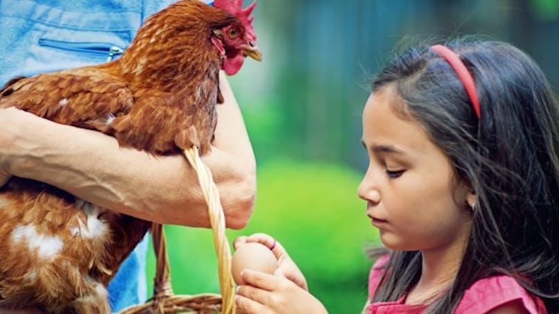Poules domestiques: attention à la salmonellose