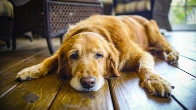Votre chien aussi peut souffrir de la grippe