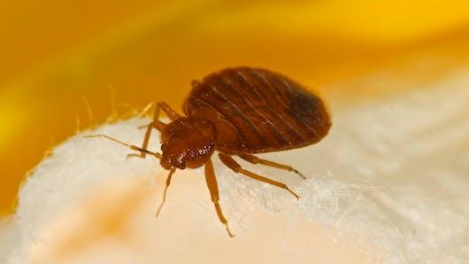 Punaises de lit : un risque d'allergie ?