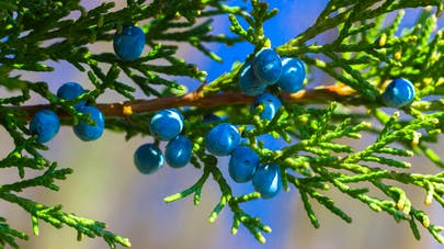 Aceite esencial de enebro (juniperus communis) - Beneficios |  Revista de salud