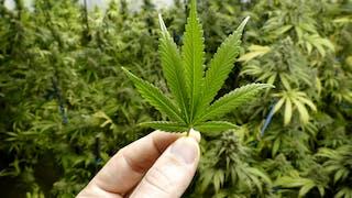 Le cannabis thérapeutique va-t-il bientôt arriver en France ?