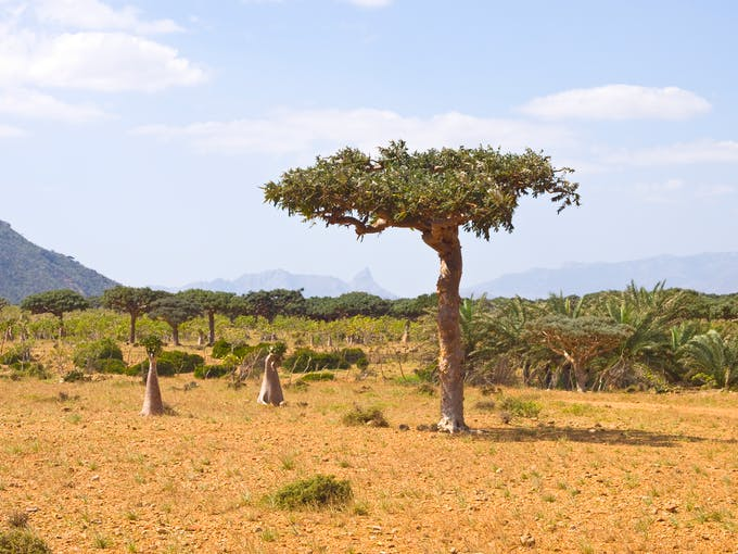 L'arbre à myrrhe
