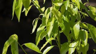 L'huile essentielle de ravintsara, un antiviral naturel et puissant
