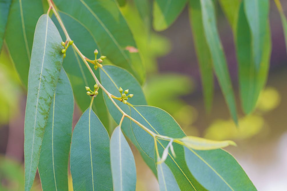 L'huile essentielle d'eucalyptus globulus
