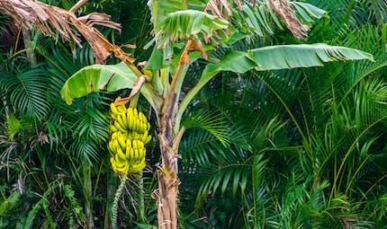 Pesticides: huit associations réclament le «zéro chlordécone» aux Antilles