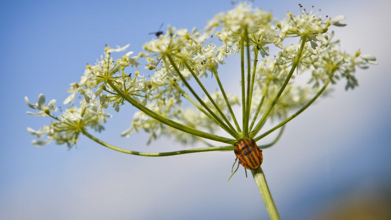 La berce du Caucase, une plante envahissante qui peut causer des brûlures