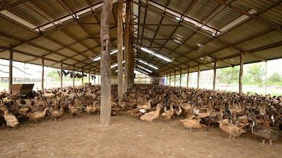 Un foyer de grippe aviaire découvert dans une commune du Loir-et-Cher