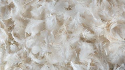 Les couettes en plumes peuvent entraîner des pneumopathies d'hypersensibilité