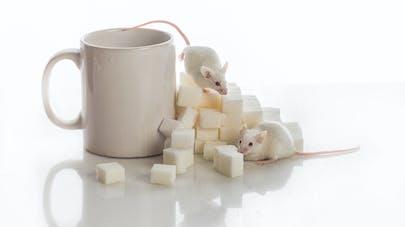 Diabète : des souris ont été guéries grâce à l'usage de cellules souches humaines
