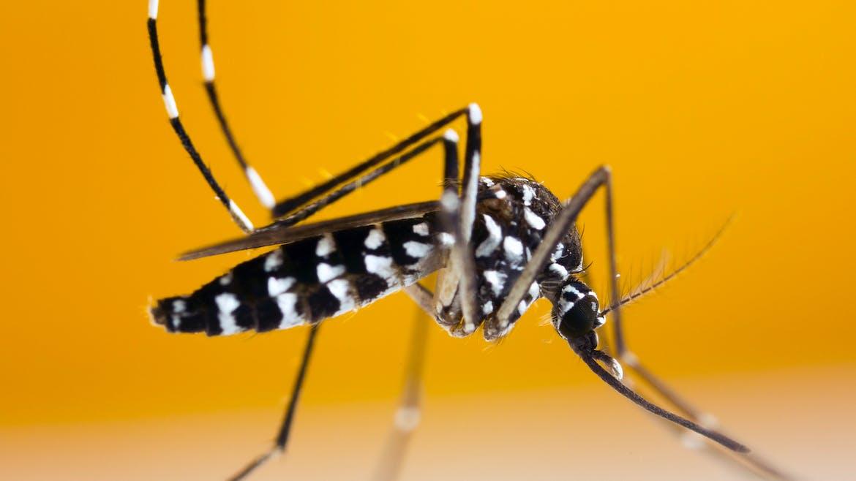 Tout savoir sur le moustique tigre et comment s'en protéger
