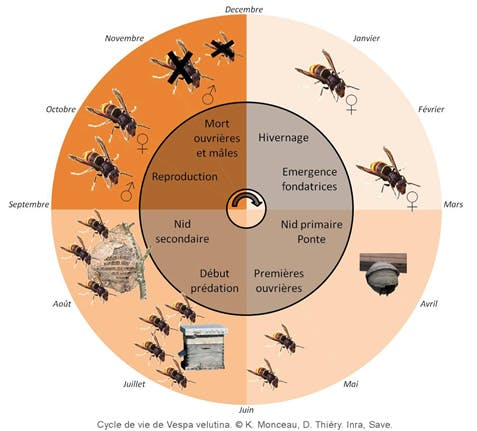 Cycle biologique des frelons asiatiques