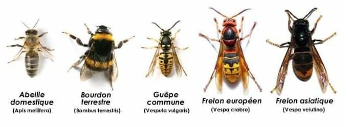 Comment faire la différence entre un frelon, un bourdon, une abeille ou une guêpe ?