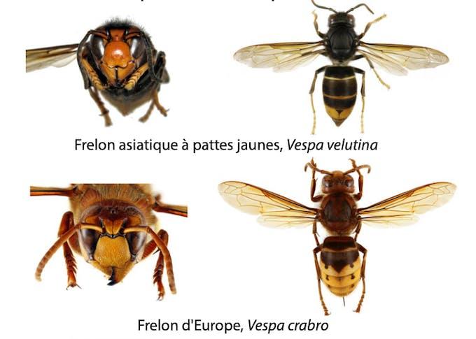 Comment différencier un frelon asiatique d'un frelon européen ?