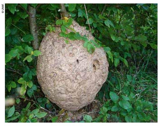 Nid de frelon asiatique